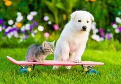 White Swiss Shepherd`s puppy and tabby kitten on skate