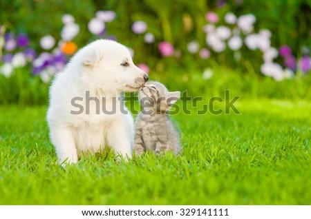 White Swiss Shepherd`s puppy kissing kitten on green grass
