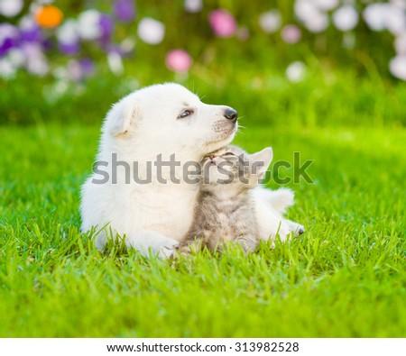 White Swiss Shepherd`s puppy lying with kitten on green grass