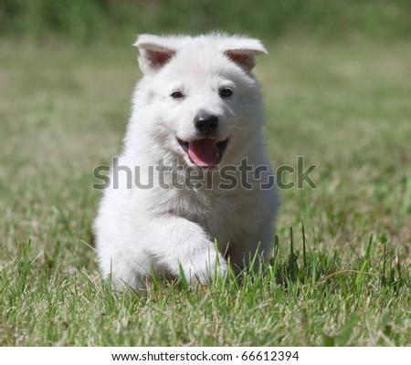 White Swiss Shepherd`s puppy runningon the grass