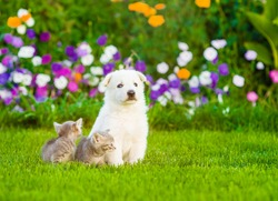 White Swiss Shepherd`s puppy sitting on green grass with two kittens