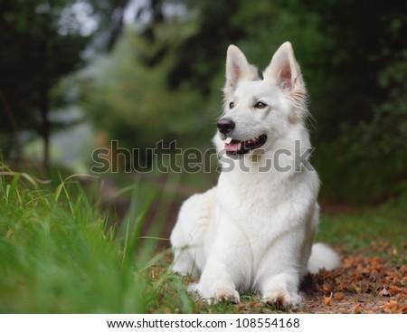White Swiss Shepherd White German Shepherd