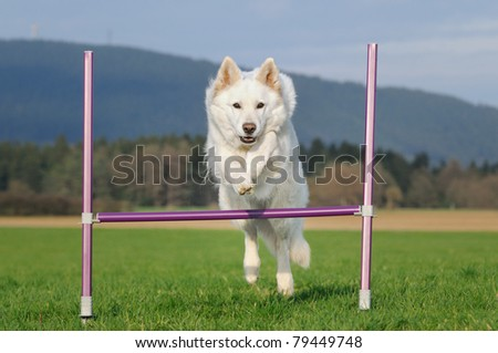White Swiss Shepherd 9 years old jumps agility outdoor Weisser Schweizer Schäferhund Berger Blanc Suisse