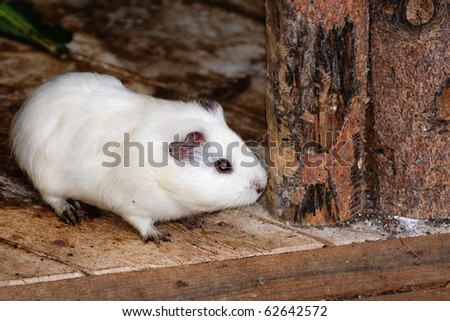 a female syrian hamsters
