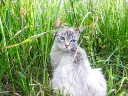 White tabby cat with blue eyes sitting in a thicket of grass. Sad alone pussycat on green plants background. Portrait of cute pet in the garden on a sunny summer day.