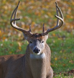 White Tail Buck resting during the fall rut