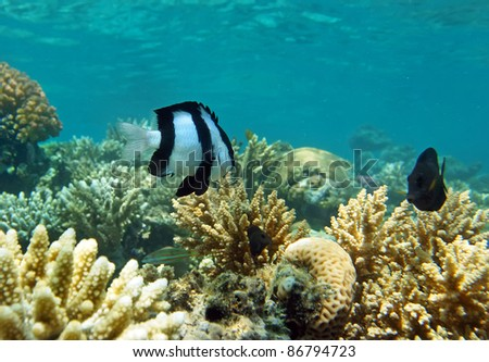 White-tail dascyllus in the natural environment of tropical see