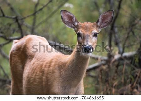 White Tail Deer Photo stock ©