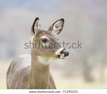 White-tail Deer at Great Smokey Mountains National Park