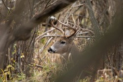 White tail deer in the forest of a nature reserve in Wisconsin North America. Both male and females live in the forest and will having different mating partners every year during the rut bucks does