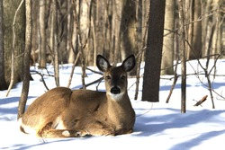 white tail deer isolated in winter