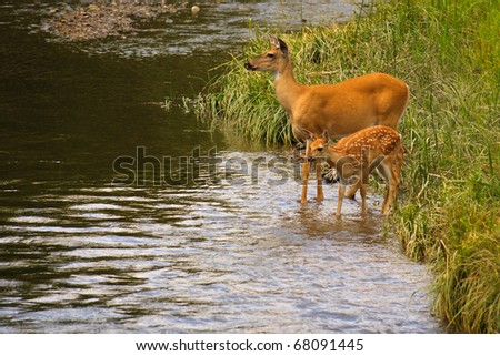 White-tail deer mother and baby standing in creek, National Bison Range, Montana.