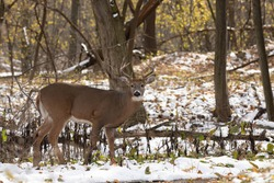 white tail deer out in nature