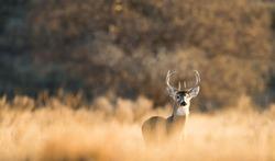 White Tail on a fall morning 4, Sharps Creek Oklahoma Panhandle