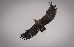 White tail sea eagles on the hunt on the Isle of Mull In Scotland