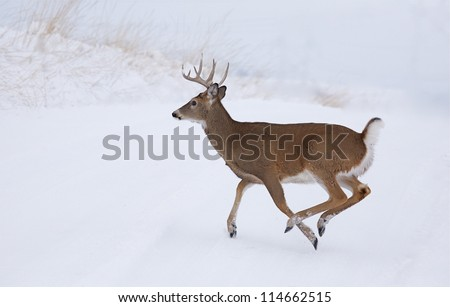 White-tailed Buck Deer running in winter snow; Whitetail deer hunting the midwest; white tail / whitetailed / white-tail / white tailed