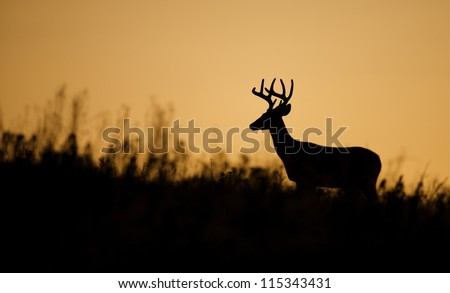 White tailed Buck Deer Stag silhouette; midwestern deer hunting, midwest Whitetails