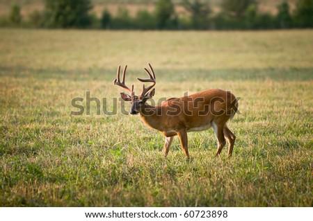 White Tailed Buck Deer Wildlife Animal in Blue Ridge Outdoors Nature Scene