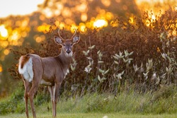 White-tailed Buck (Odocoileus virginianus) backlit from the setting sun at evening. Selective focus, background blur and foreground blur.