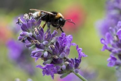 White Tailed Bumble Bee Bombus lucorum on a flower in a garden in England, United Kingdom;