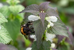 White-tailed bumblebee collects pollen in spring. Worker bee on nettle flower.