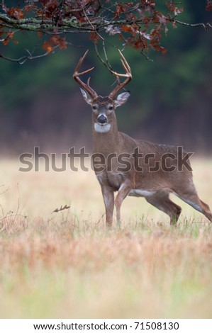White-tailed deer buck chewing on branches and marking scent as part of rut behavior