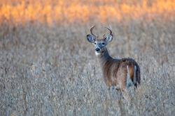 White-tailed deer buck (Odocoileus virginianus) standing in a Wausau, Wisconsin soybean field, horizontal