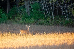 White-tailed deer buck (Odocoileus virginianus) standing in a Wausau, Wisconsin soybean field, horizontal