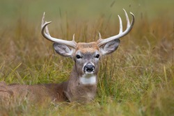 White-tailed deer buck resting in the grass during the rut in autumn in Canada