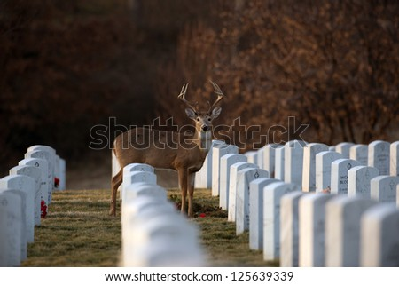 White-tailed deer buck standing among headstones in Jefferson Barracks National Cemetery in St. Louis, Mo.