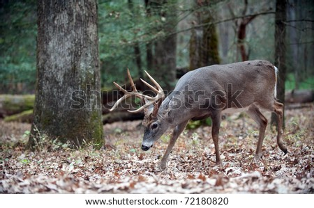 White-tailed deer buck walking through the woods - stock photo