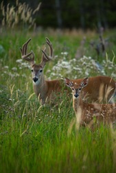 White tailed Deer Fawn and Buck Standing in Grass Field