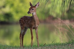 White tailed deer fawn by a lagoon
