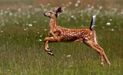 White-tailed deer fawn running in the tall grass in the early summer meadow in Canada