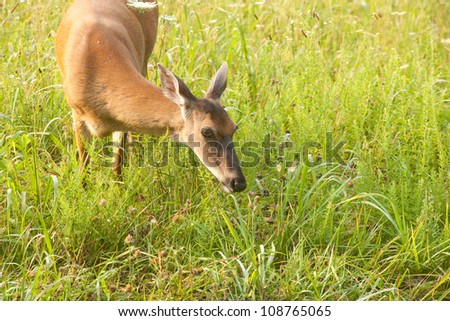 White tailed deer grazing in the early morning grass of Cade's Cove, in the Great Smoky Mountains of Tennessee