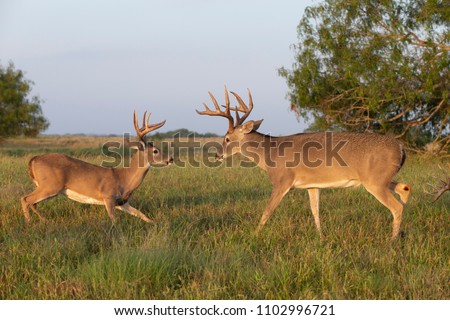 Stock Photo White-tailed Deer in Southern Texas