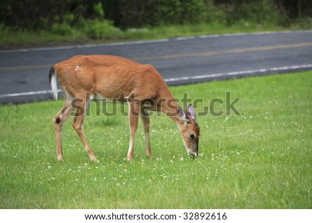 white-tailed deer (Odocoileus virginianus) feeding along the side of the road in a meadow in June in Upper New York State