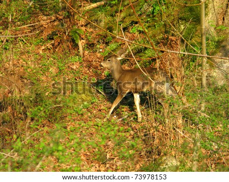 white tailed deer, odocoileus virginianus, in warm evening light in forest