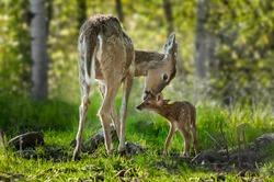 White-Tailed Deer (Odocoileus virginianus) Licks Her Fawn - captive animals