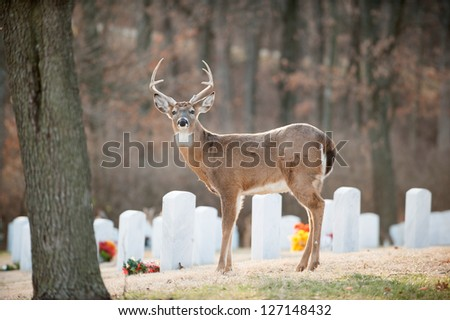 White-tailed deer standing in Jefferson Barracks National Cemetery near St. Louis, Mo.