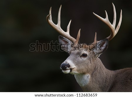 White tailed Deer, Ten point buck, portrait isolated on a dark natural background; white tail / white-tail / whitetailed / whitetail / white-tailed