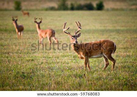 White Tailed Deer Wildlife Animals in Blue Ridge Outdoors Nature Scene