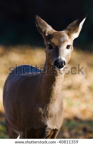 White Tailed Doe Looking into the camera.