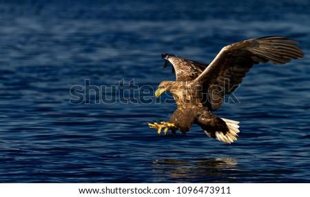 Stock Photo White tailed eagle