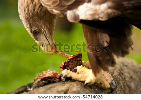 White tailed Eagle eat meat