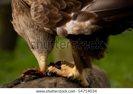 Eagle eating meat - photo#14
