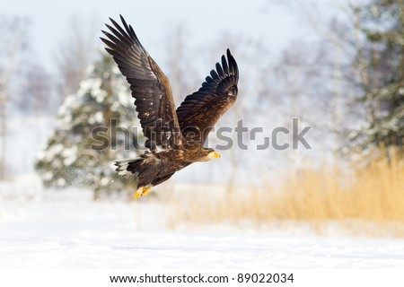 White tailed Eagle flying over the snow