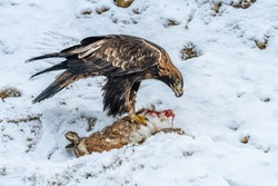 White Tailed Eagle (Haliaeetus albicilla)  Also known as the ern, erne, gray eagle, Eurasian sea eagle and white-tailed sea-eagle. Wings Spread. Poland, Europe. Birds of prey.
