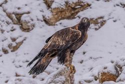 White Tailed Eagle (Haliaeetus albicilla)  Also known as the ern, erne, gray eagle, Eurasian sea eagle and white-tailed sea-eagle. Wings Spread. Poland, Europe. Birds of prey.