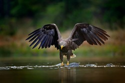 White-tailed Eagle, Haliaeetus albicilla, flying above the water, bird of prey with forest in background, animal in nature habitat, wildlife, Norway. Eagle in water lake, drops splash - big wings.